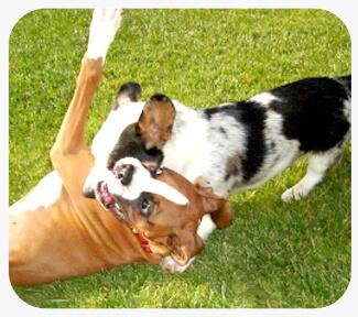 Dog figting