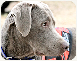 Silver Labradors: A Beautiful and Controversial Breed | The