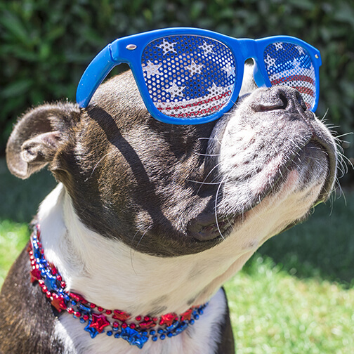 Cute Boston Terrier Dog Wearing Fourth of July Stars and Stripes