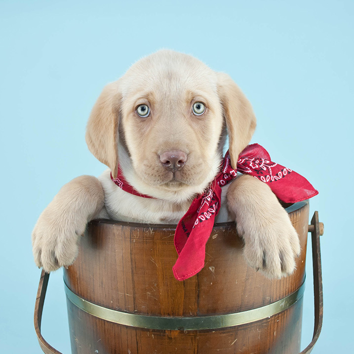 Sweet little Lab puppy sitting in a bucket wearing a red hanky with a blue background.