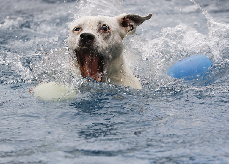 Dog swimming in the pool about the grab the ball
