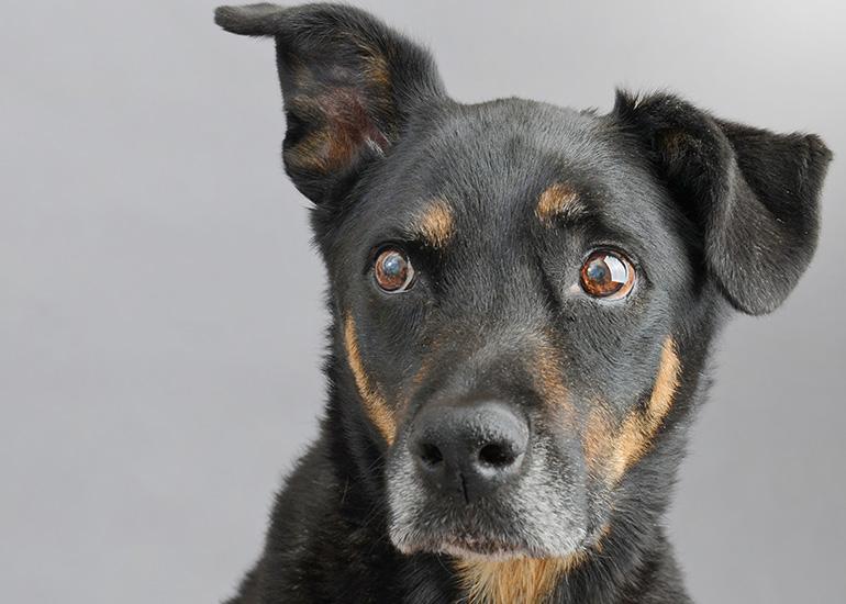 Doberman Mixed Breed Senior Dog with Ear perked up