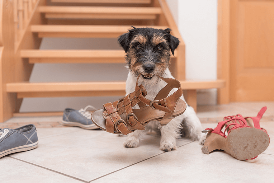 dog biting shoes by stairs