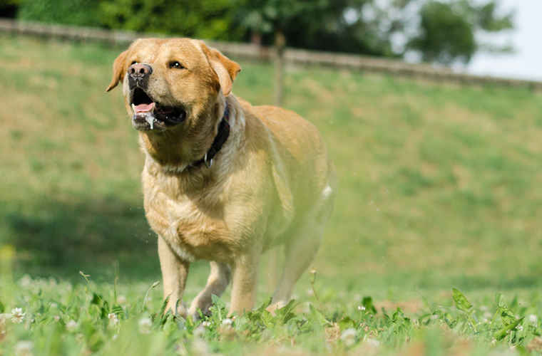 yellow lab drooling