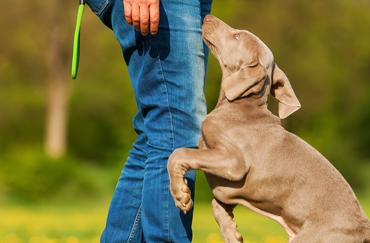 Weimaraner puppy jumping up on person