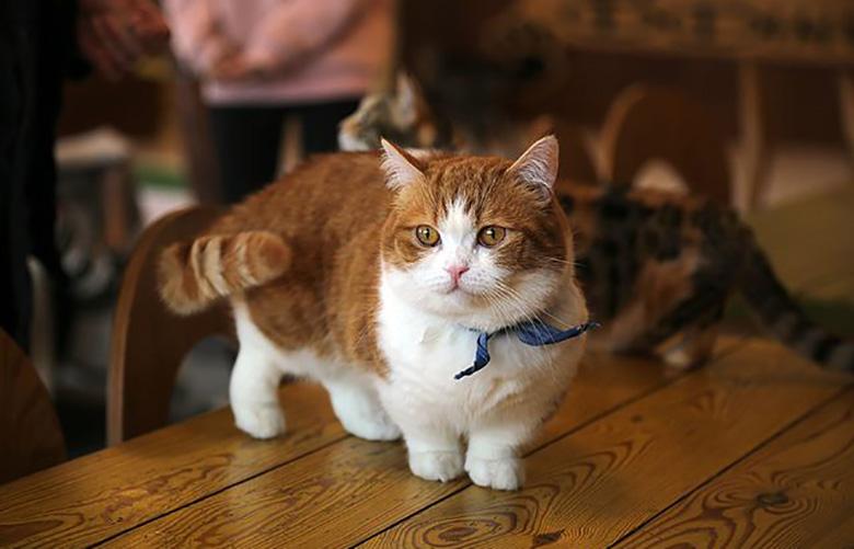 Munchkin cat small breed