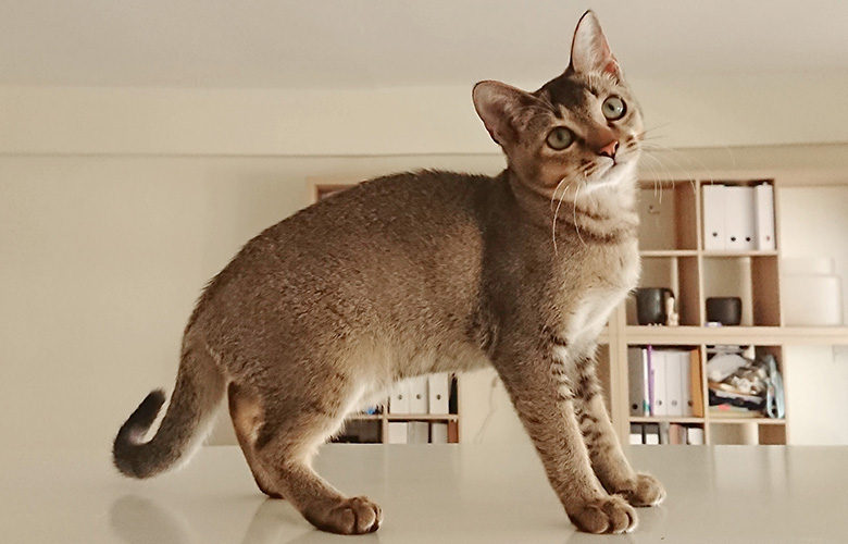 Raw_Singapura small breed cat