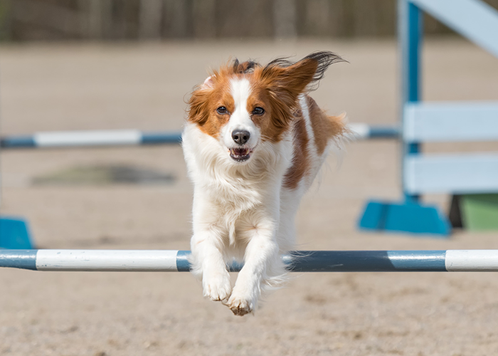 dog agility training dog jumping over pole