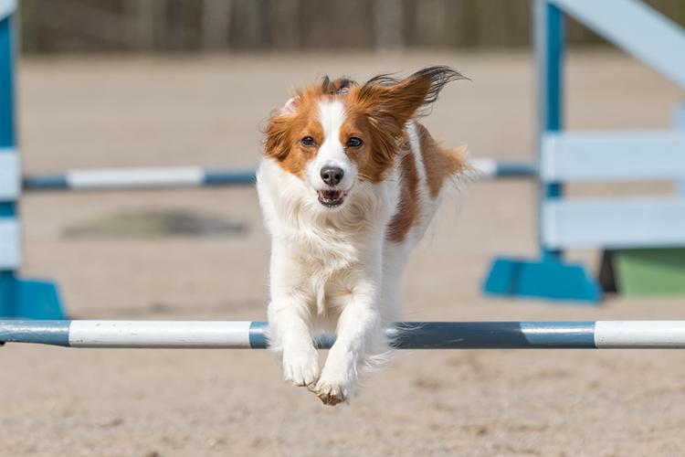 dog agility training dog jumping over pole
