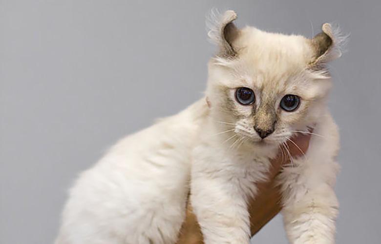 American Curl Small Breed Cat