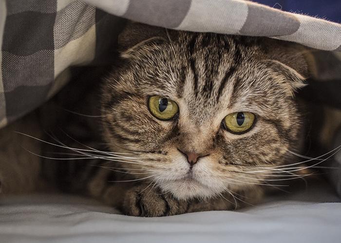 cat under blanket stressed