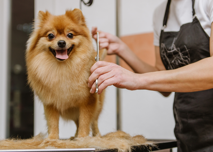Pomeranian dog being groomed