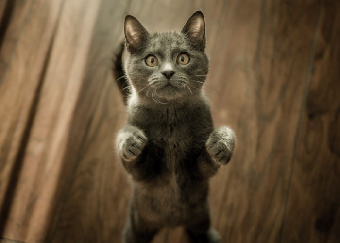 Grey cat standing on hind legs