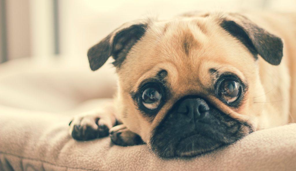 pug laying down with sad eyes