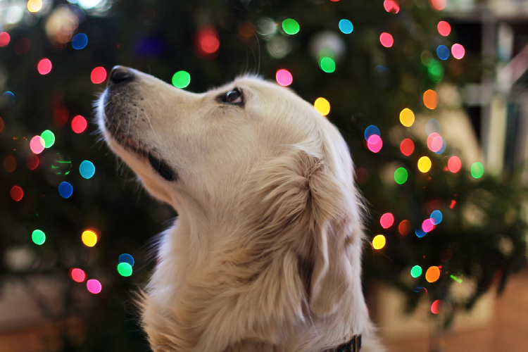 beautiful golden retrieve in front of lit christmas tree