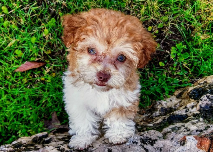Brown and white Havanese puppy sitting in the grass looking up at camera