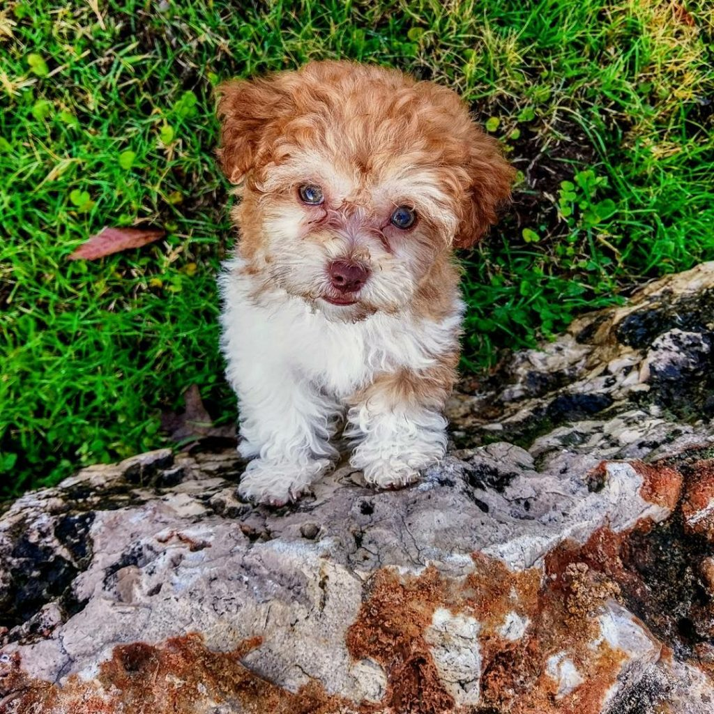 brown and white havanese puppy looking up at camera