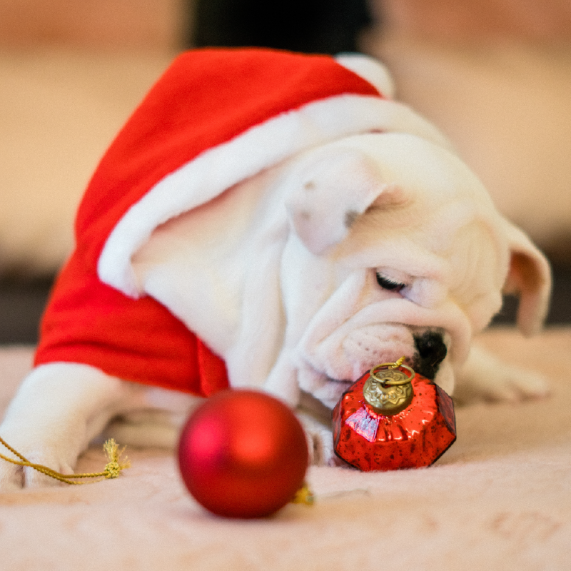 white bulldog in santa outfit sniffing red ornaments