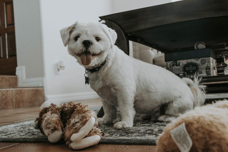 small white dog sitting on rug next to toys