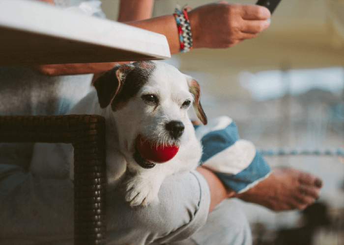 Selective focus of a white dog with a red ball in his mouth, sitting on a couch next to a human