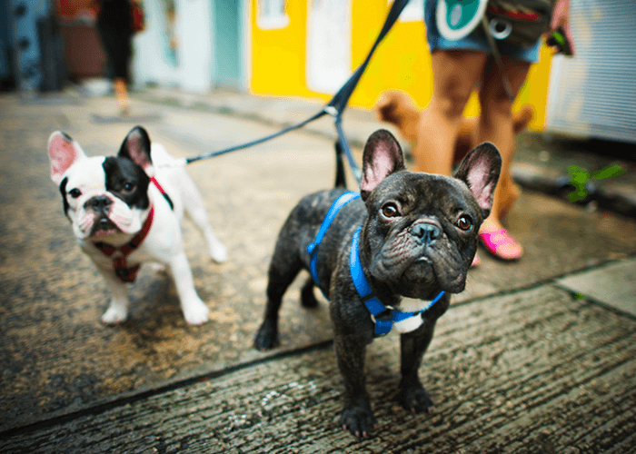 1 black and white french bulldog and 1 black french bulldog on a leash, looking at camera, with woman's legs in the background.