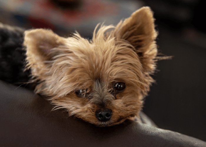 light brown yorkie puppy looking over the arm of a brown leather chair