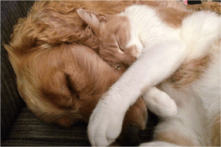 golden retriever snuggling with white and orange cat