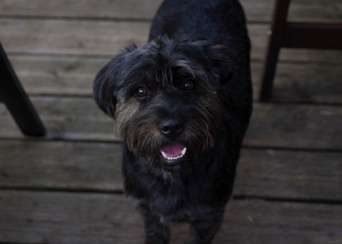 Dark coated terrier dog looking at camera