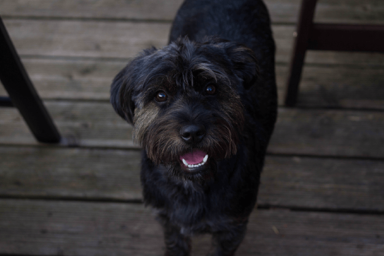 Dark coated terrier dog looking at camera