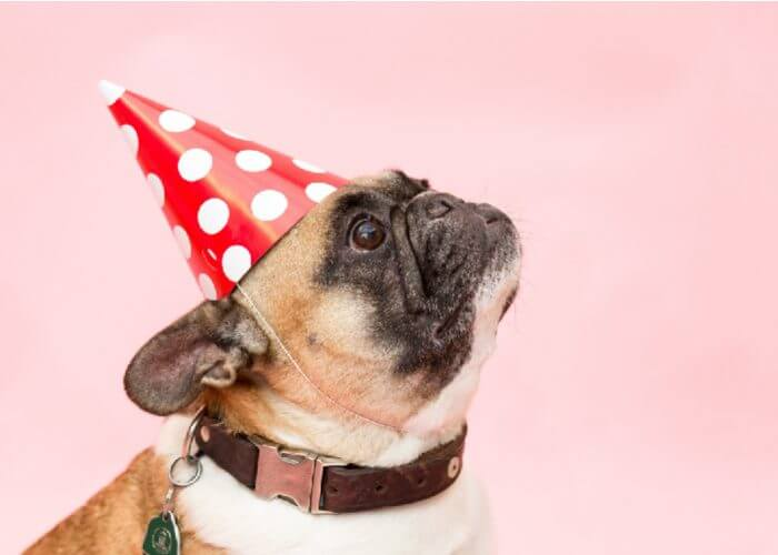 fawn pug with black face, wearing polka dot party hat, pink background