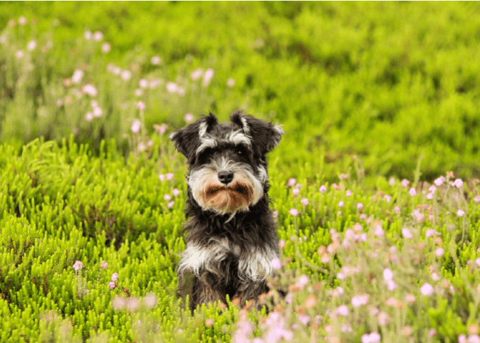 Small black and tan dog in a field of flowers