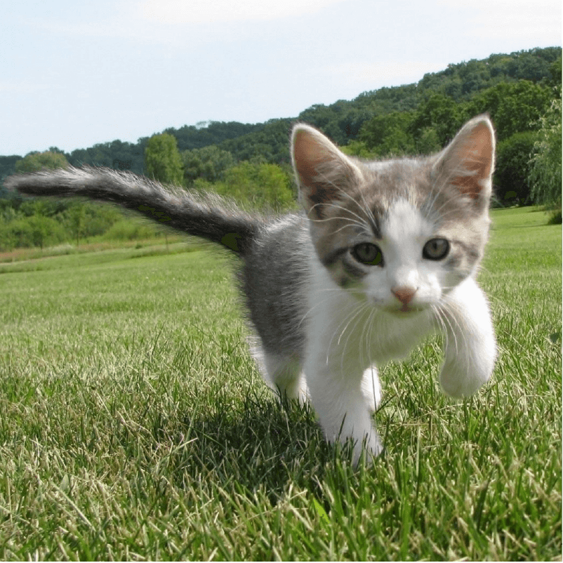 grey and white cat running outdoors