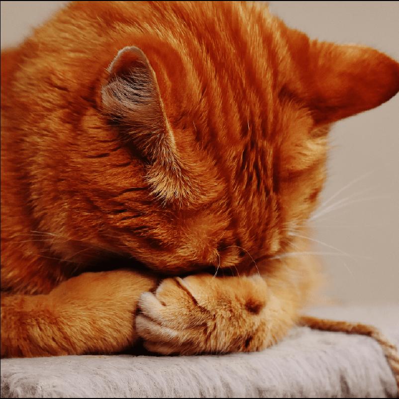 orange cat hiding head