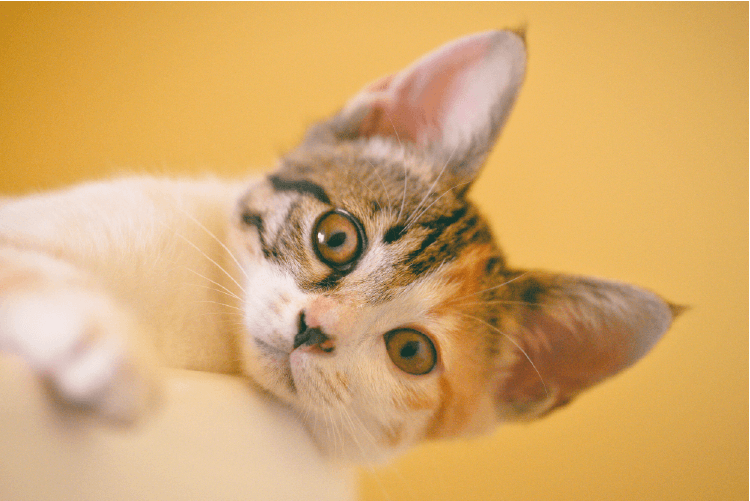 Cute white, orange, and brown striped cat looking at camera
