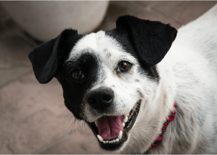 black and white mutt looking at camera, smiling