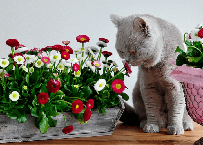 grey cat smelling brightly colored flowers
