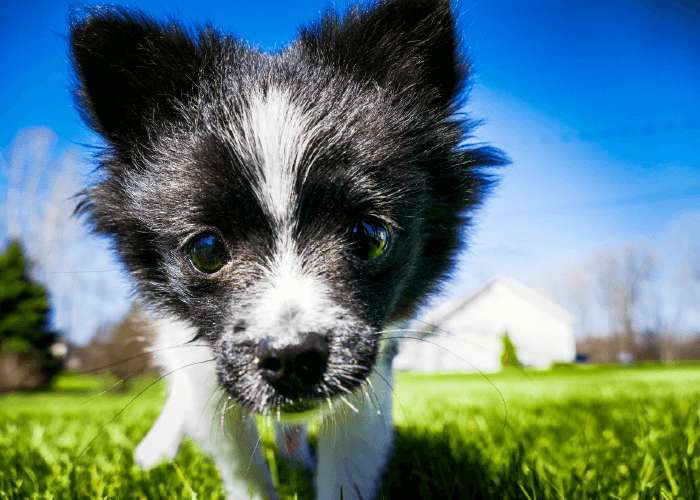 Close up of black and white small dog outdoors