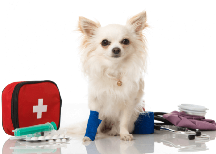 Small white dog with a blue bandage on front right paw, sitting among a first aid kit with first aid supplies.