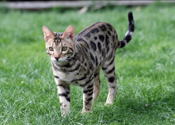 low shedding cat breeds, bengal cat outdoors