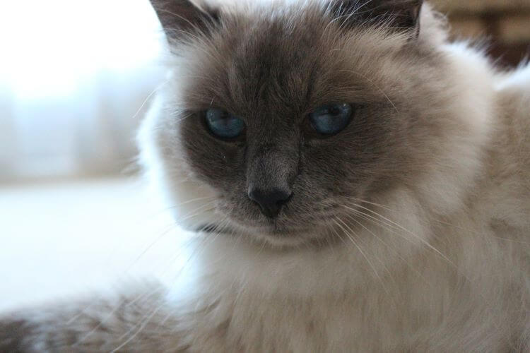 low shedding cat breeds, birman, white and grey cat