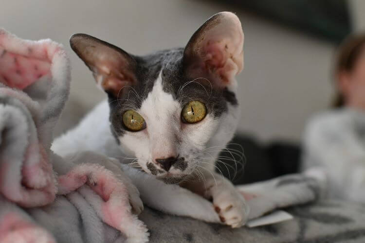 low shedding cat breeds cornish rex, white and grey cat with green eyes