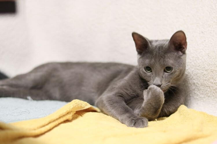 low shedding cat breeds russian blue, grey cat blue eyes sitting on yellow blanket