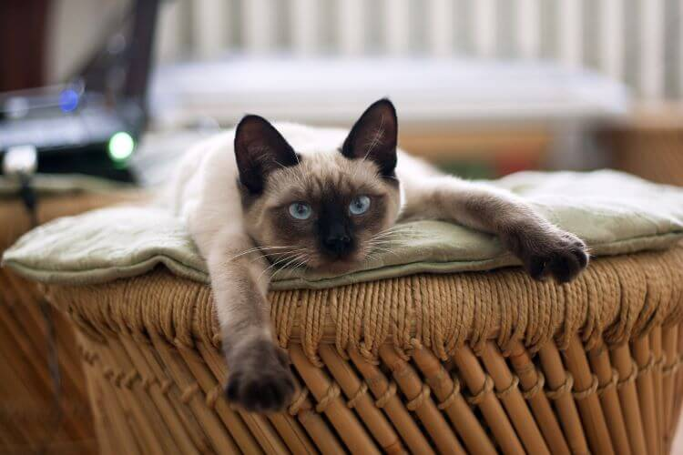low shedding cat breeds siamese