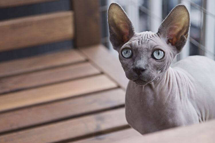 low shedding cat breeds sphynx
