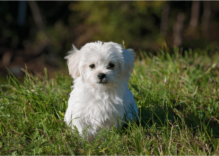 white maltese dog in grass