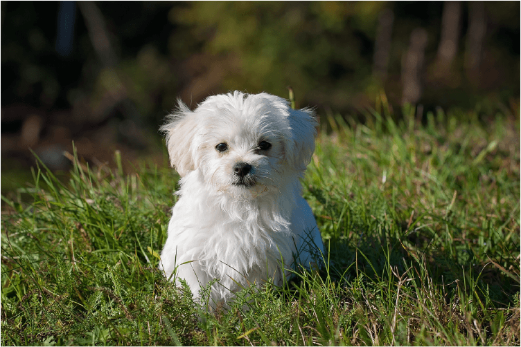 white maltese dog in grass