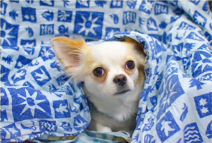 white chihuahua with brown ears, peaking out from under a blue and white blanket