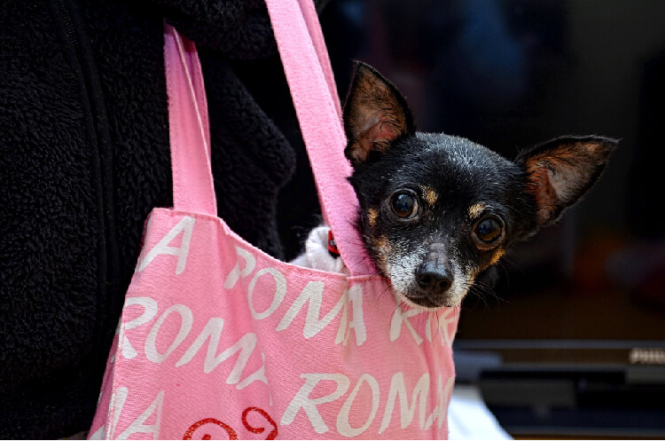 black chihuahua being carried in a pink tote bag