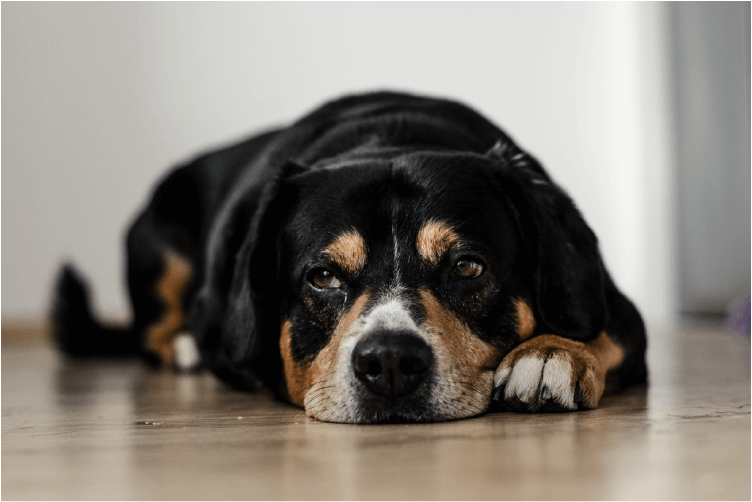 Black and brown dog laying on a wood floor