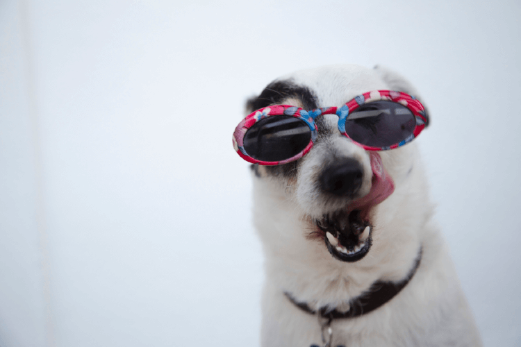 white dog wearing red and blue sunglasses, licking its face